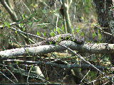 Small water snake sunning on fallen tree (Kayak Virginia Beach Images © Paul Perusse)
