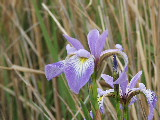 Wild Iris's on Milldam Creek (Kayak Virginia Beach Images © Paul Perusse)