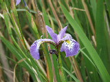 Wild Iris on Milldam Creek (Kayak Virginia Beach Images © Paul Perusse)