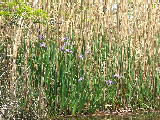Patch of wild Iris on Milldam Creek (Kayak Virginia Beach Images © Paul Perusse)
