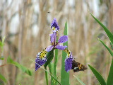Wild Iris and butterfly on Milldam Creek (Kayak Virginia Beach Images © Paul Perusse)