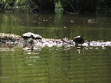 Turtles sunning on Milldam Creek (Kayak Virginia Beach Images © Paul Perusse)