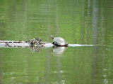 Turtle sunning on Milldam Creek (Kayak Virginia Beach Images © Paul Perusse)