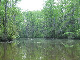 Spanish Moss Covering trees on Milldam Creek (Kayak Virginia Beach Images © Paul Perusse)