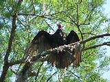 Buzzard sunning on Milldam Creek (Kayak Virginia Beach Images © Paul Perusse)