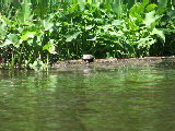 turtle sunning on a log on Smiths Creek, Chesapeake (Kayak Virginia Beach Images © Paul Perusse)