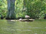 A goose and turtle sunning on a lo on Smiths Creek, Chesapeake (Kayak Virginia Beach Images © Paul Perusse)