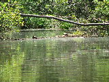 turtles sunning on a log on Smiths Creek, Chesapeake (Kayak Virginia Beach Images © Paul Perusse)