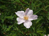 Wild Rose on Hells Point Creek (Kayak Virginia Beach Images © Paul Perusse)
