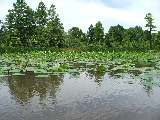 Lotus on Ashville Bridge Creek (Kayak Virginia Beach Images © Paul Perusse)
