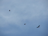Eagles Soaring (Kayak Virginia Beach Images © Paul Perusse)