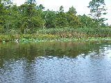 Looking North at the lotus growth (Kayak Virginia Beach Images © Paul Perusse)