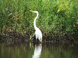 Egret on the banks of Lotus Pond (Kayak Virginia Beach Images © Paul Perusse)
