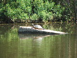 turtle sunning (Kayak Virginia Beach Images © Paul Perusse)