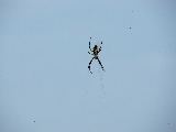 Garden Spider (Kayak Virginia Beach Images © Paul Perusse)