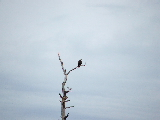 Bald Eagle North Landing River (Kayak Virginia Beach Images © Paul Perusse)