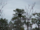 Bald Eagle Nest North Landing River (Kayak Virginia Beach Images © Paul Perusse)