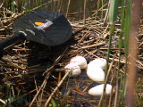 Nest flooded eggs (Kayak Virginia Beach Images © Paul Perusse)