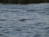 Cottonmouth in the channel (Kayak Virginia Beach Images © Paul Perusse)