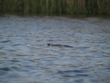 Cottonmouth moving (Kayak Virginia Beach Images © Paul Perusse)