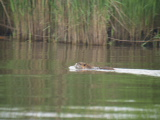 Nutria (Kayak Virginia Beach Images © Paul Perusse)