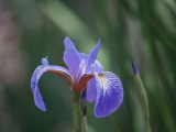 Blue Iris on Milldam Creek (Kayak Virginia Beach Images © Paul Perusse)