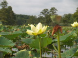 Lotus Blooming (Kayak Virginia Beach Images © Paul Perusse)