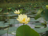 Lotus (Kayak Virginia Beach Images © Paul Perusse)