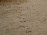 Animal track in the sand (Kayak Virginia Beach Images © Paul Perusse)
